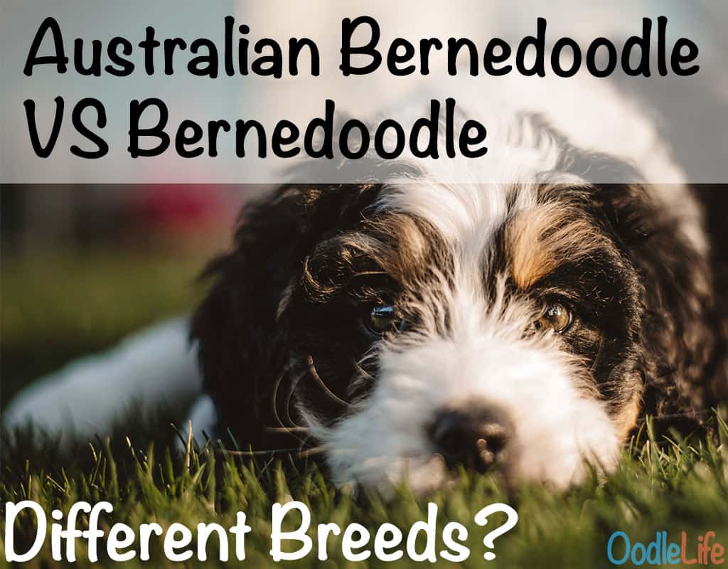Australian Bernedoodle Vs Bernedoodle differences in breeds