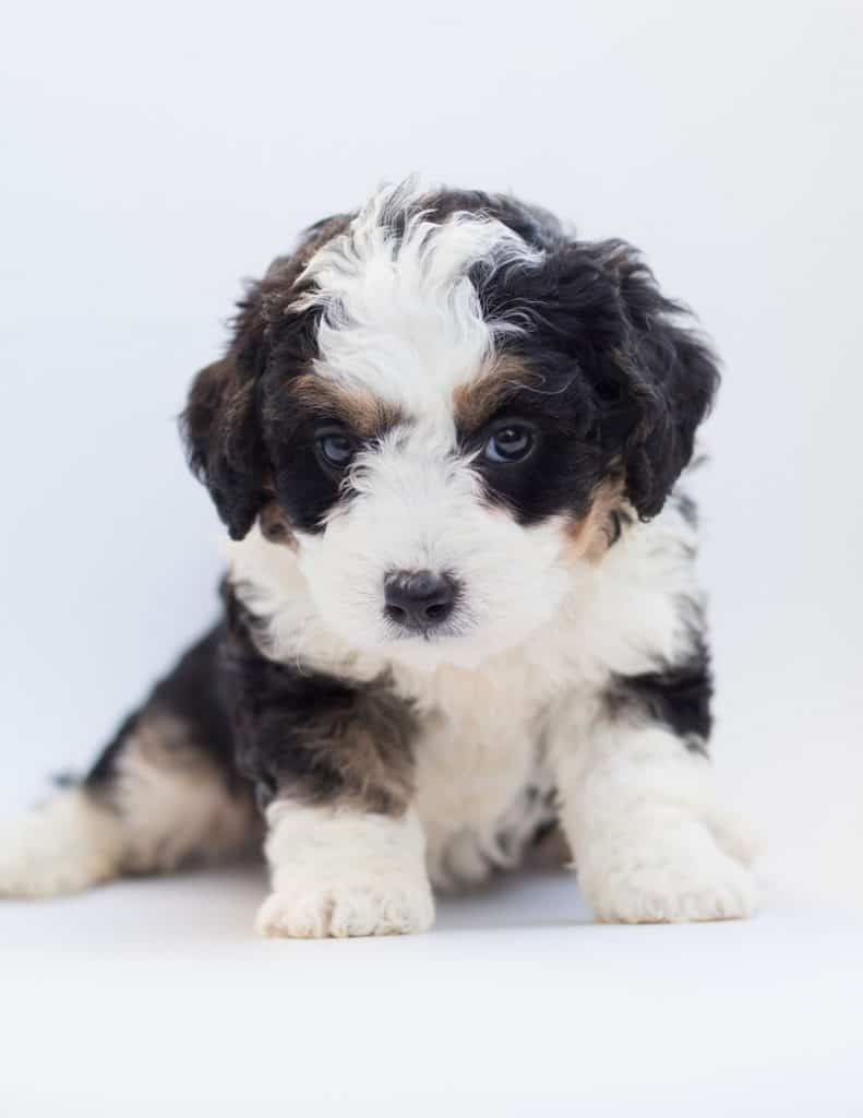 cost of Bernedoodle puppies