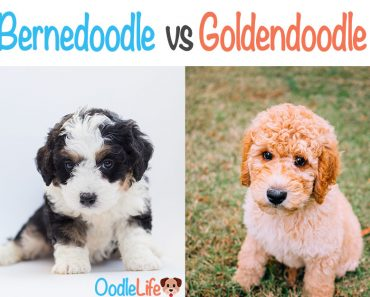 Bernedoodle Vs Goldendoodle: The Definitive Guide