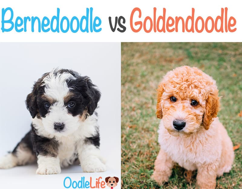 Bernedoodle Vs Goldendoodle How To