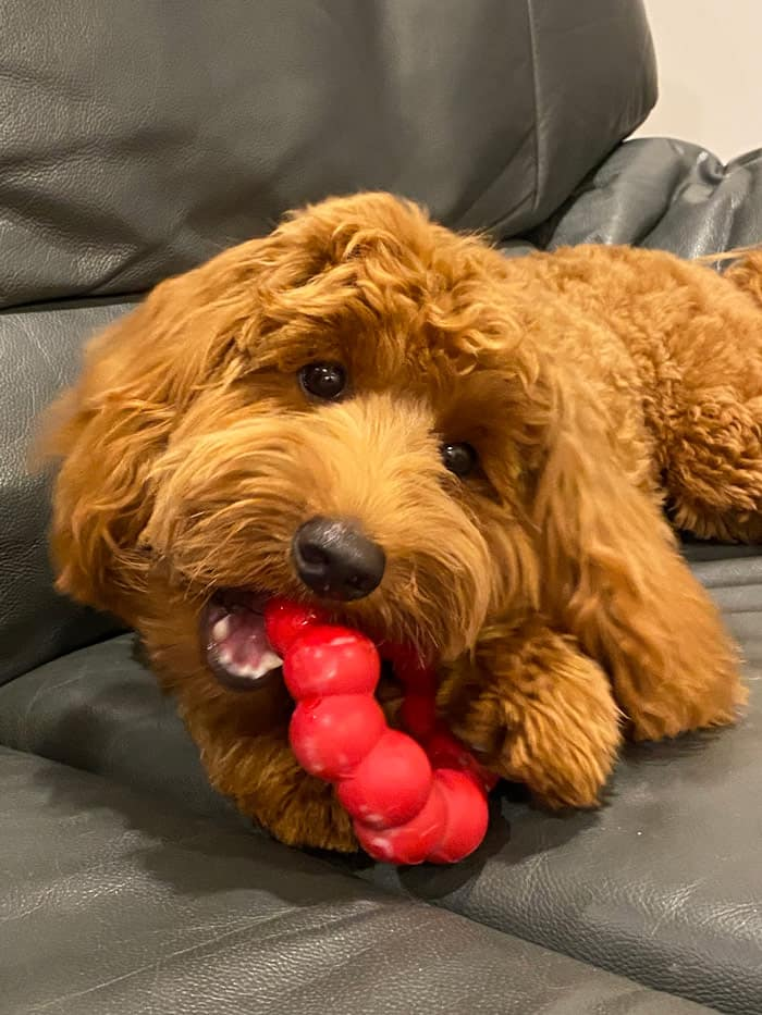 The Number 1 TOUGH Labradoodle chew toy for puppies - A complete review 1