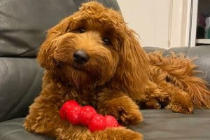 Labradoodle Puppy Chew Toy Kong