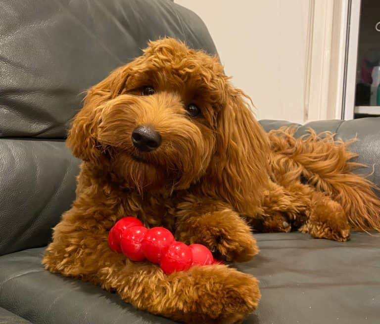 The Number 1 TOUGH Labradoodle chew toy for puppies – A complete review