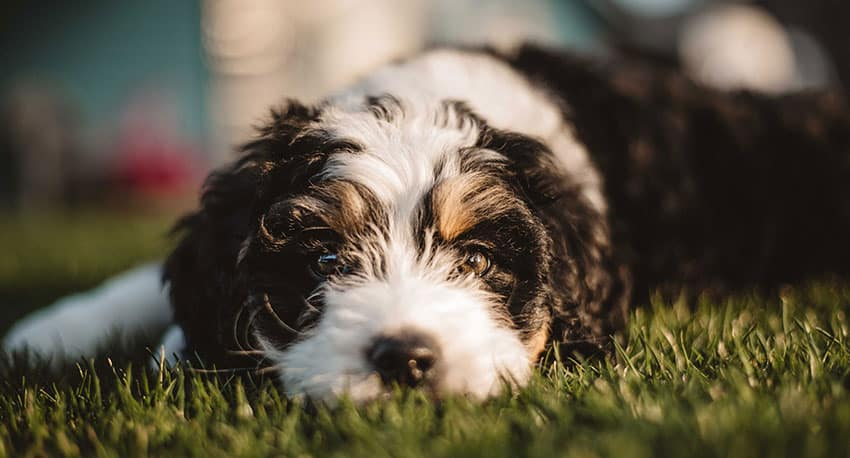 Bernedoodle 101 - 10 Fast Bernedoodle Puppy Facts to Make You An Expert 3