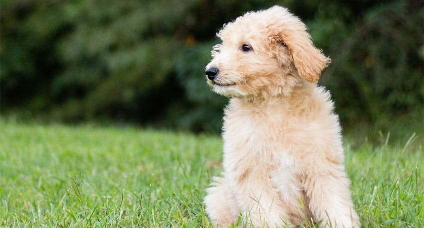 a Goldendoodle puppy will live for 15+ years