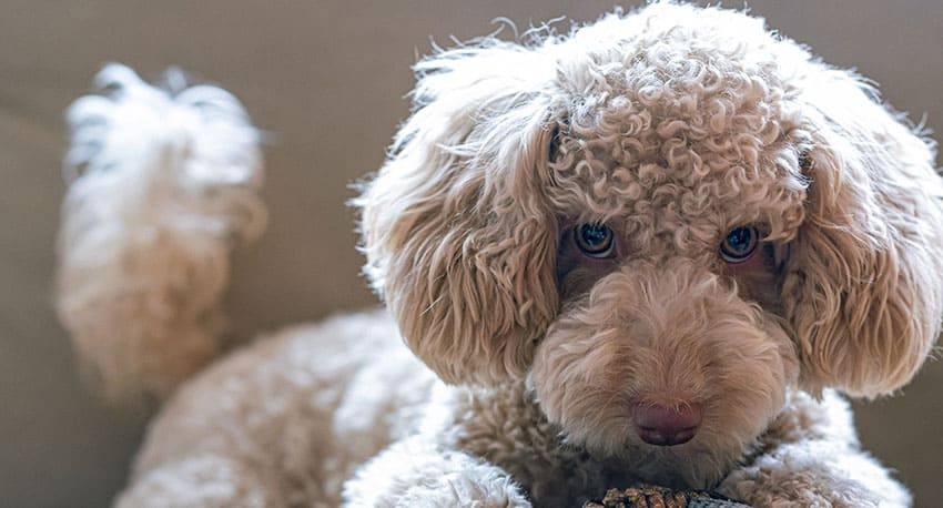 Expert Goldendoodle QUIZ - How Much Do You Really Know About the Goldendoodles? 2