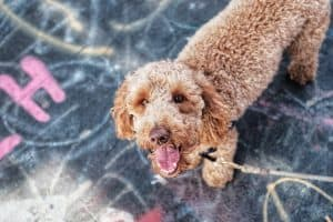 Goldendoodle Barking: Practical Tips When Your Goldendoodle Barks At Everything 8
