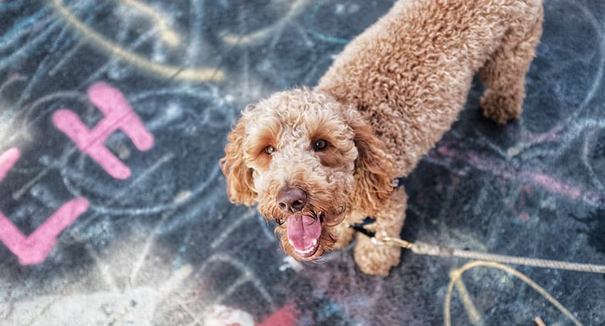 Can Goldendoodles Swim? Best Ways To Introduce Goldendoodles To Water 1