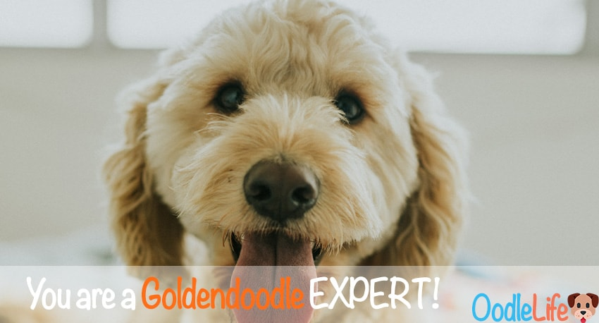 Expert Goldendoodle QUIZ - How Much Do You Really Know About the Goldendoodles? 8