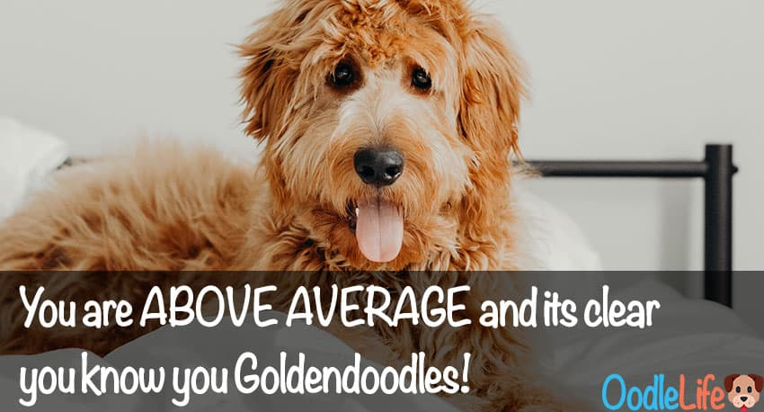 Expert Goldendoodle QUIZ - How Much Do You Really Know About the Goldendoodles? 7
