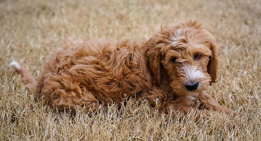 What Color Are Goldendoodles (with photos) Coat Color Guide 1