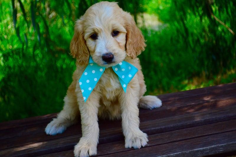goldendoodle puppy barking