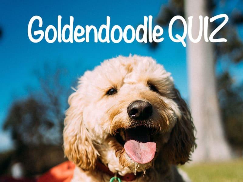 Goldendoodle trivia quiz
