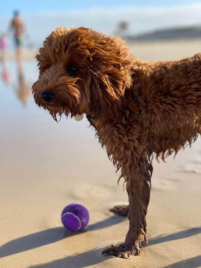 Puppy at dog beach