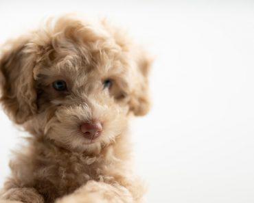 baby goldendoodle barking