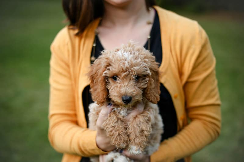 Teacup And Toy Goldendoodle Size Guide