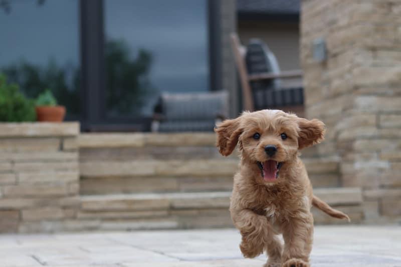 Toy Goldendoodle barking