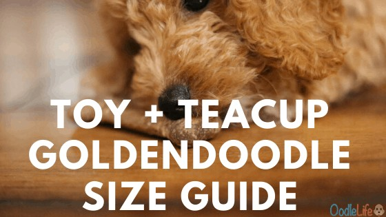Comparison of the Toy and Teacup Goldendoodles
