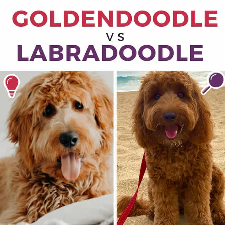 Goldendoodle Vs Labradoodle Complete Comparison Guide