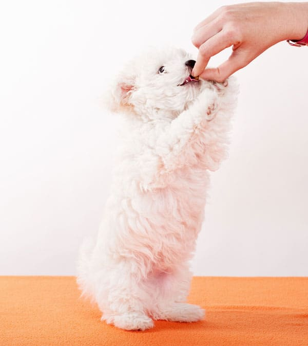labradoodle white puppy begging for treats