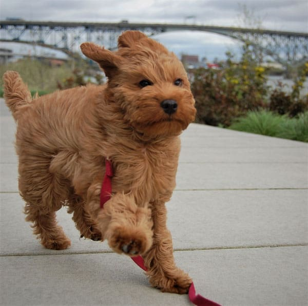 straight coat labradoodle running into the wind