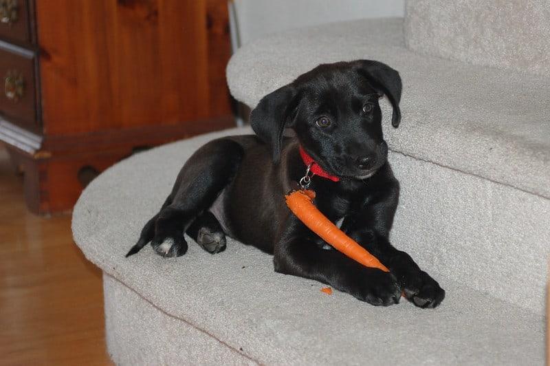 labrador cam puppy eat carrot