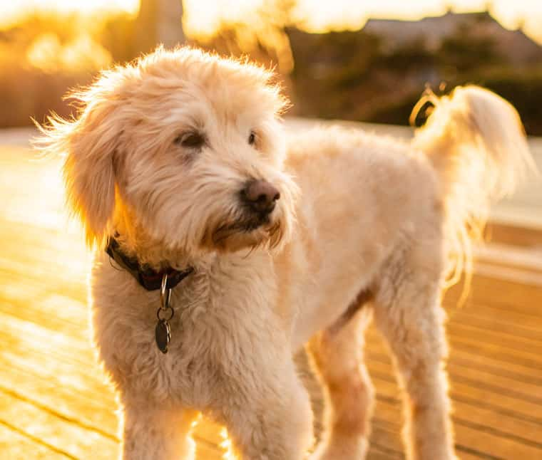goldendoodle with straight coat vs labradoodle