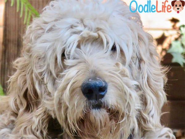 The Top 6 Best Shampoo for Goldendoodles 19