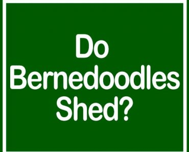do bernedoodles shed?