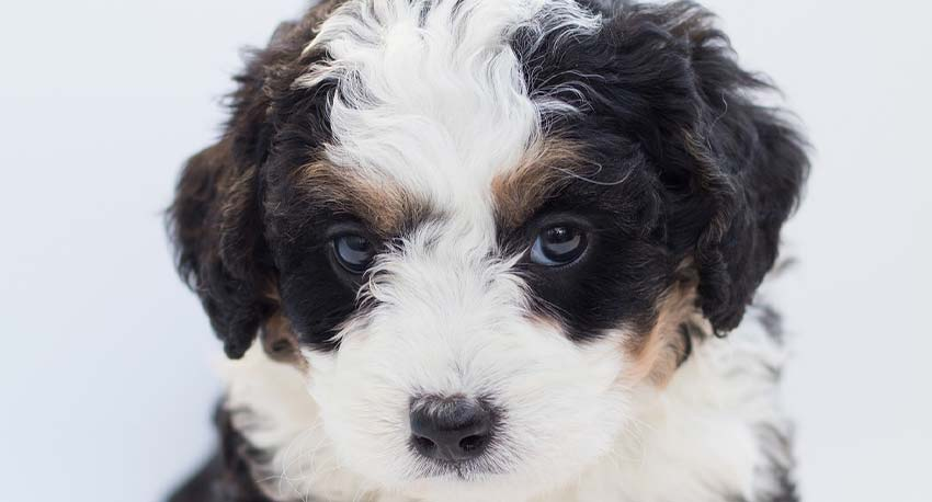 How To Potty Train A Bernedoodle Ultimate Guide 2
