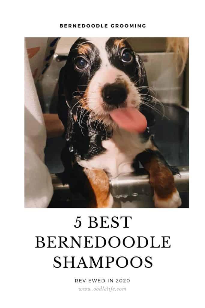 best shampoo for Bernedoodle