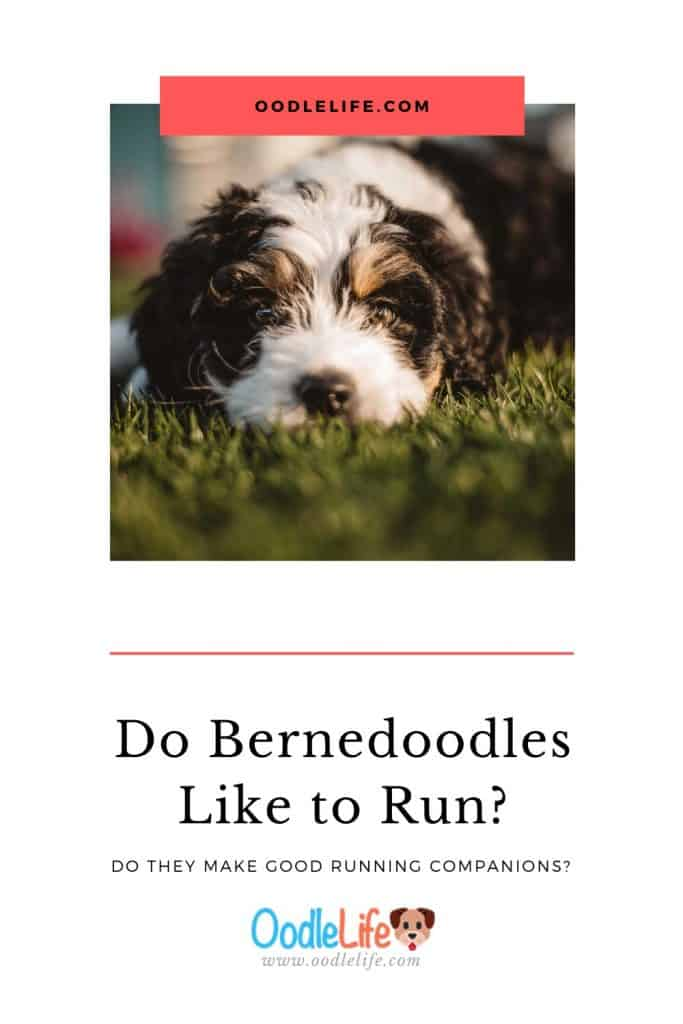 do bernedoodles like to run