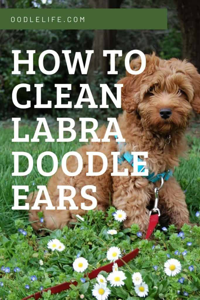 how to clean labradoodle ears