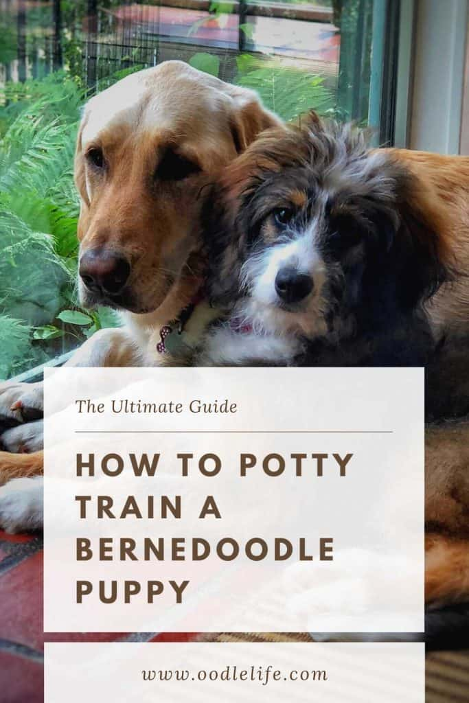 how to potty train a bernedoodle puppy