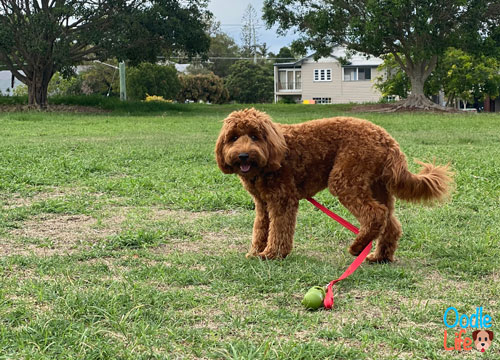 mini labradoodle puppy playing outside