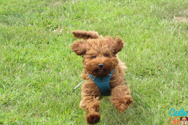 mini labradoodle puppy running