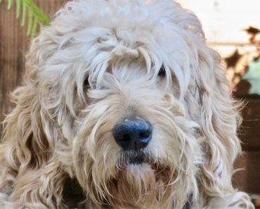 The Top 6 Best Shampoo for Goldendoodles 11