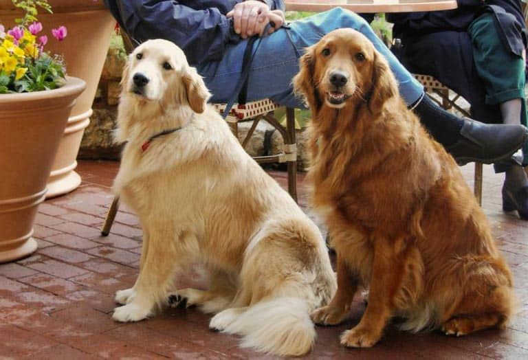English Goldendoodle Vs Goldendoodle Compare The Big Differences 2