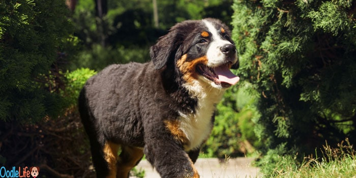 bernedoodle review breed guide