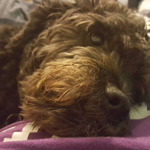 What Does a Boxerdoodle Look Like? What Is A Boxerdoodle? Gallery and Learn Intriguing Breed Information 2