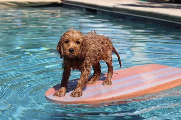can goldendoodles swim