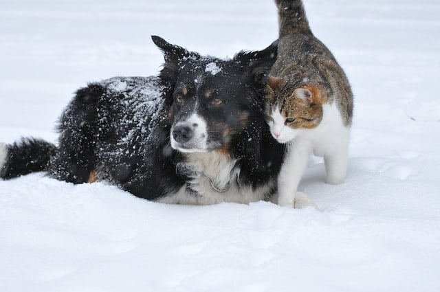 Are Bernedoodles Good With Cats? Questions and Practical Guide to Bernedoodles and Cats 1