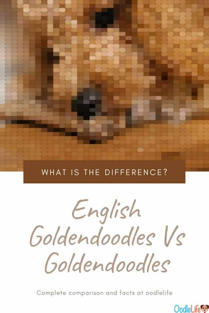 English Goldendoodle Vs Goldendoodle Compare The Big Differences 1