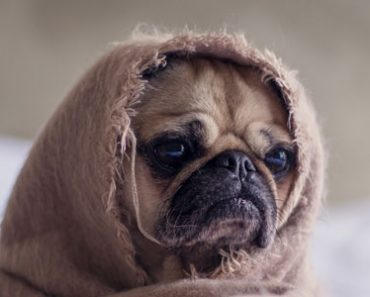 Star Wars pug lol