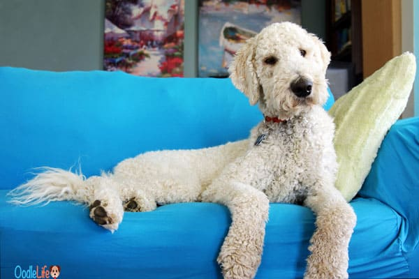 goldendoodle is lethargic