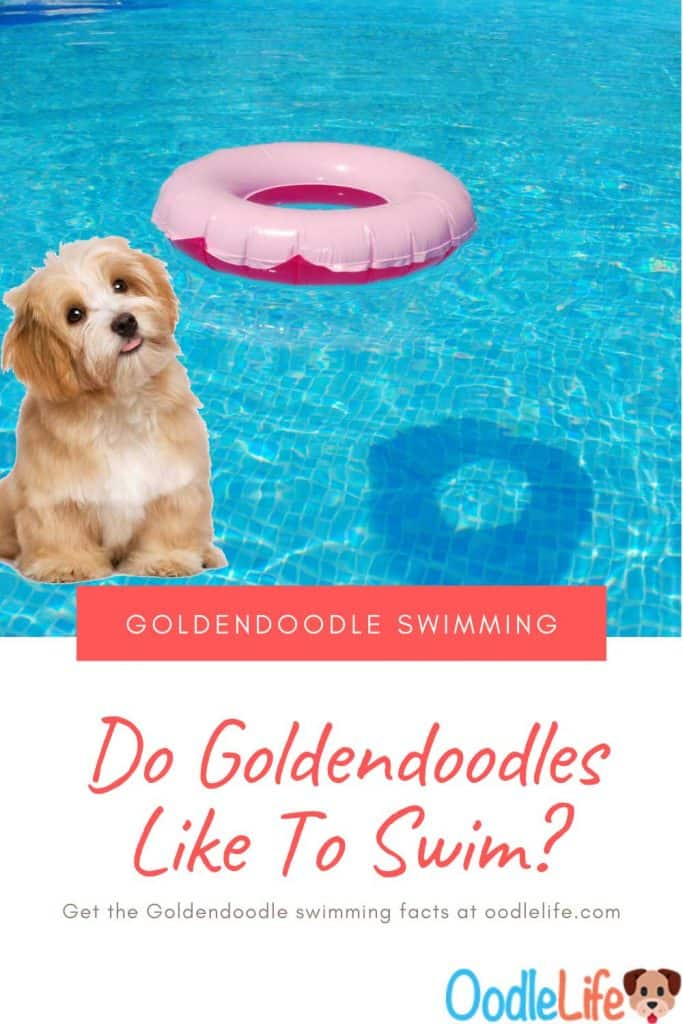 Can Goldendoodles Swim? Best Ways To Introduce Goldendoodles To Water 7
