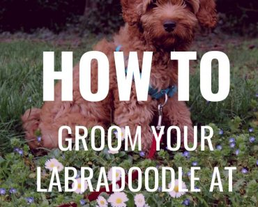 Labradoodle Grooming Guide - 11 Simple Australian Labradoodle Grooming Tips For Easy DIY Grooming 1