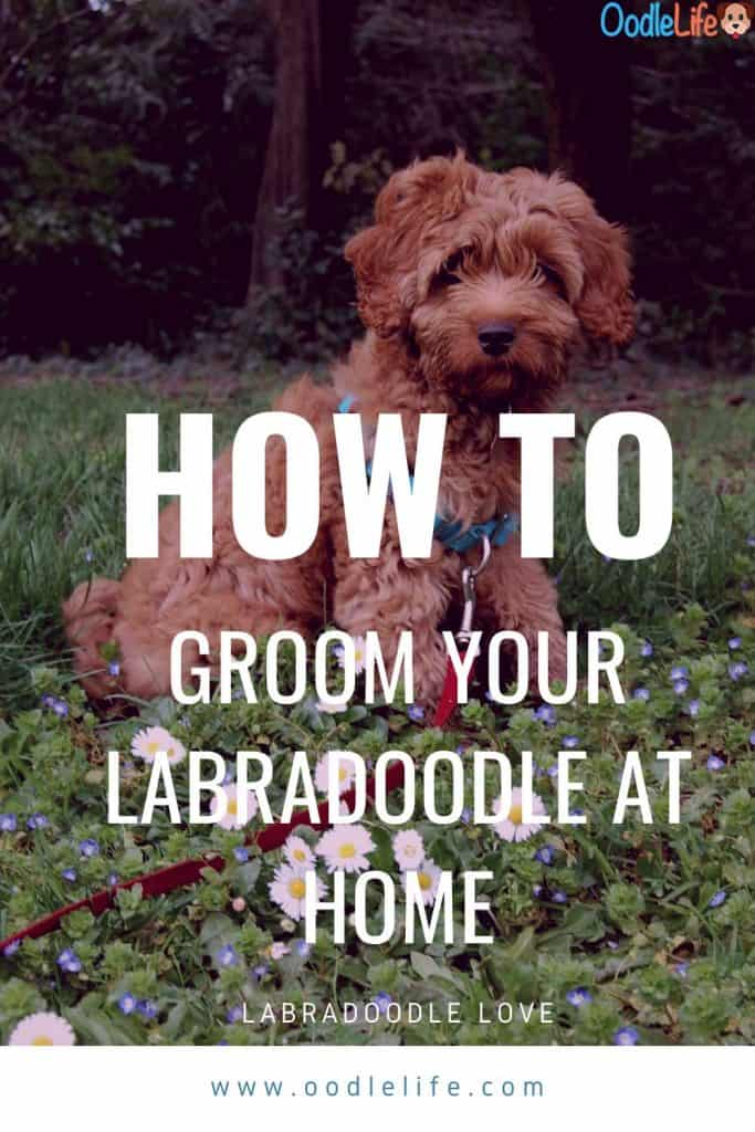 labradoodle grooming guide