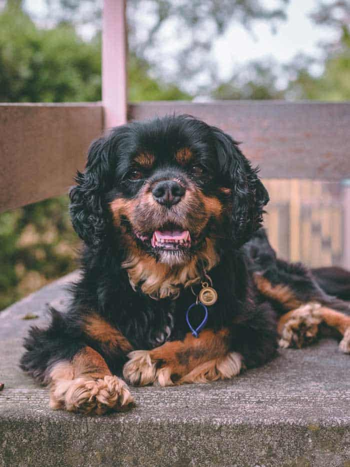 black and tan cavalier King Charles spaniel dog image