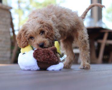 cavapoo puppy toys